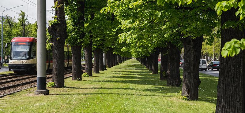 Cięcia techniczne drzew w Wielkiej Alei Lipowej